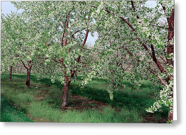 Orchard Greeting Cards - View Of Spring Blossoms On Cherry Trees Greeting Card by Panoramic Images
