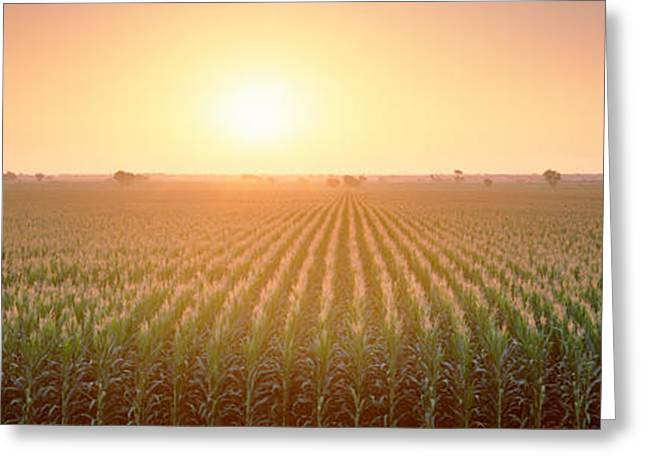 Romantic Photography Greeting Cards - View Of The Corn Field During Sunrise Greeting Card by Panoramic Images