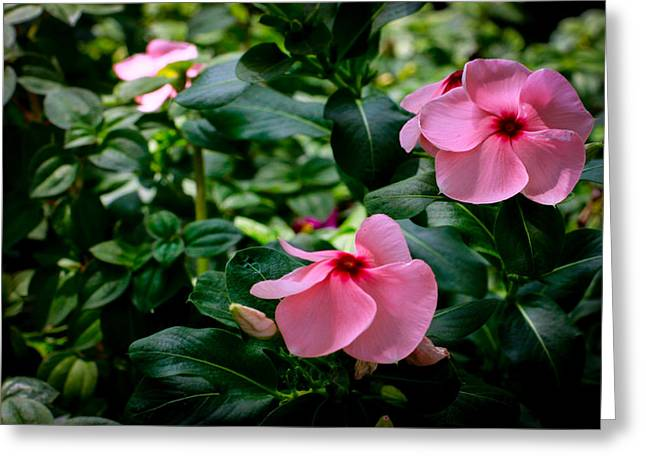 Donald Chen Greeting Cards - Vinca Rosea Singapore Flower Greeting Card by Donald Chen