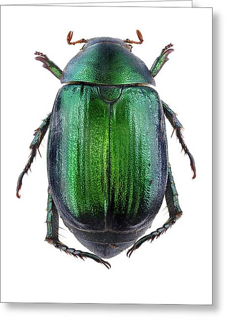 Vine Chafer Beetle Greeting Card by F. Martinez Clavel