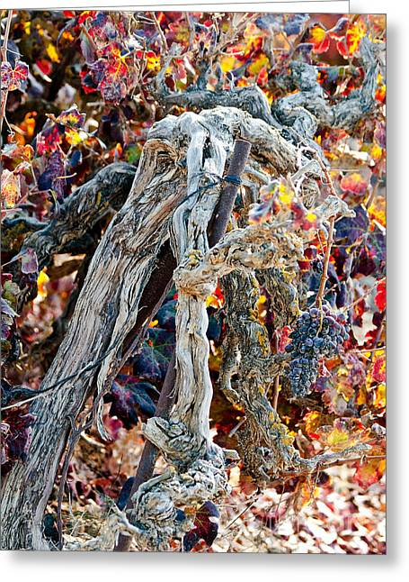Red Wine Prints Greeting Cards - Vine in autumn Greeting Card by Arik Baltinester