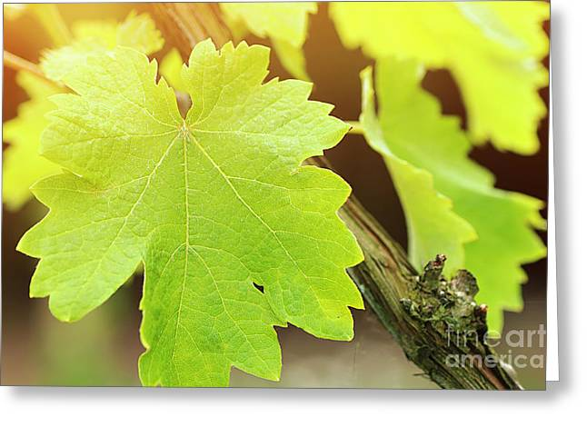 Close Focus Nature Scene Greeting Cards - Vine leaf in a vineyard Greeting Card by Gregory DUBUS