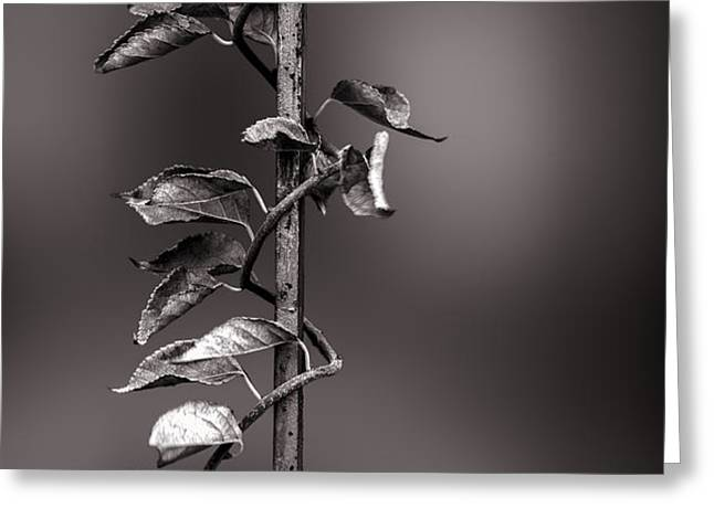 Vine on Iron Greeting Card by Bob Orsillo