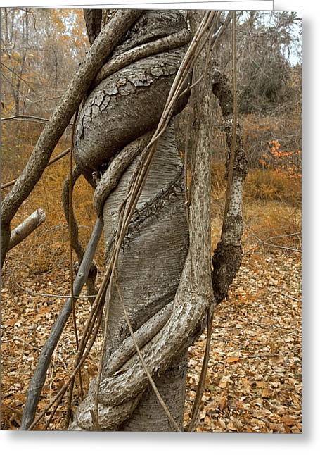 North American Vine Greeting Cards - Vine strangling a birch tree Greeting Card by Science Photo Library