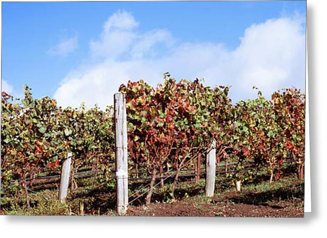 Vines In A Vineyard, Napa Valley, Wine Greeting Card by Panoramic Images