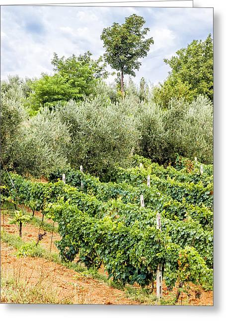 Grapevines Greeting Cards - Vineyard and Olive Tree in the Marche Greeting Card by Alain De Maximy