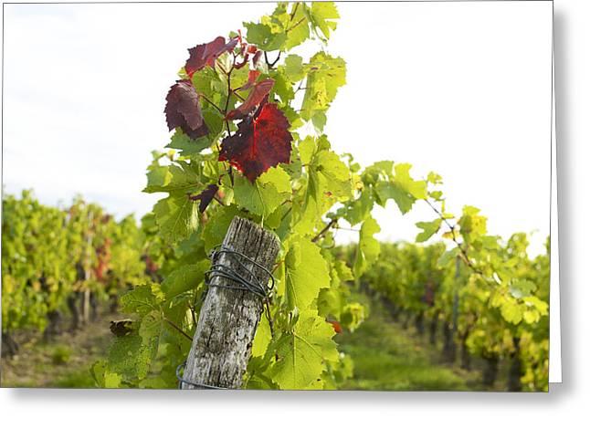 Vine Leaves Greeting Cards - Vineyard Greeting Card by Bernard Jaubert