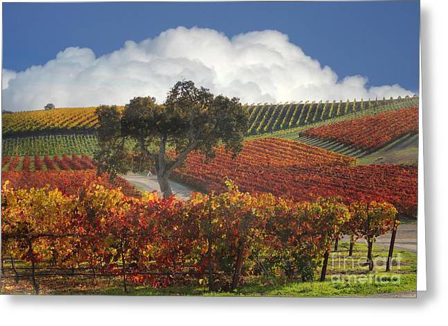 Fall Vineyard Greeting Cards - Vineyard Color Greeting Card by Stephanie Laird