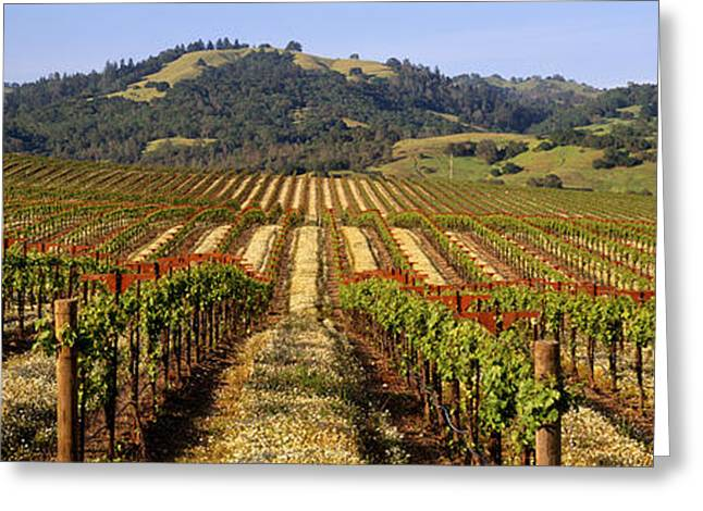 Grapevine Photographs Greeting Cards - Vineyard, Geyserville, California, Usa Greeting Card by Panoramic Images