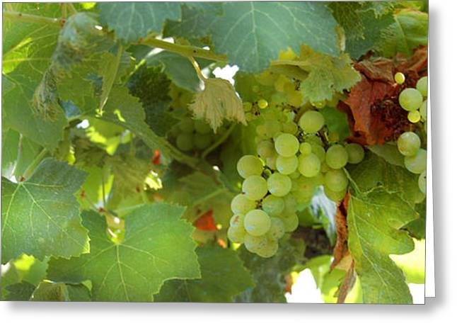 Grape Vineyard Greeting Cards - Vineyard Greeting Card by Gina Dsgn