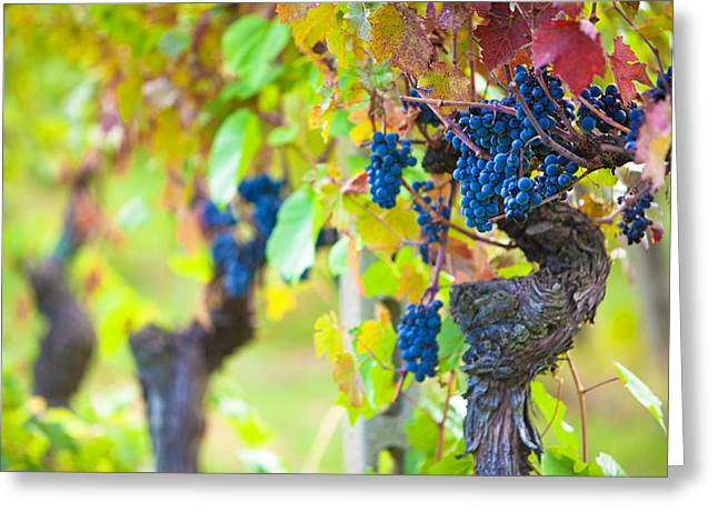 Grape Vines Greeting Cards - Vineyard Grapes Ready for Harvest Greeting Card by Susan  Schmitz
