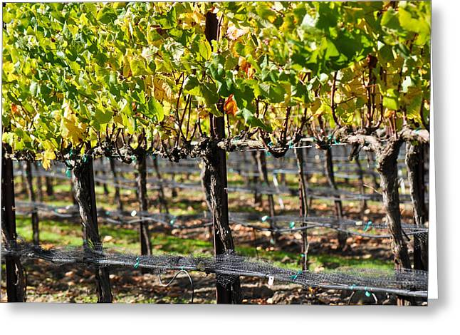 Grapevine Autumn Leaf Greeting Cards - Vineyard in Autumn Fall Greeting Card by Brandon Bourdages