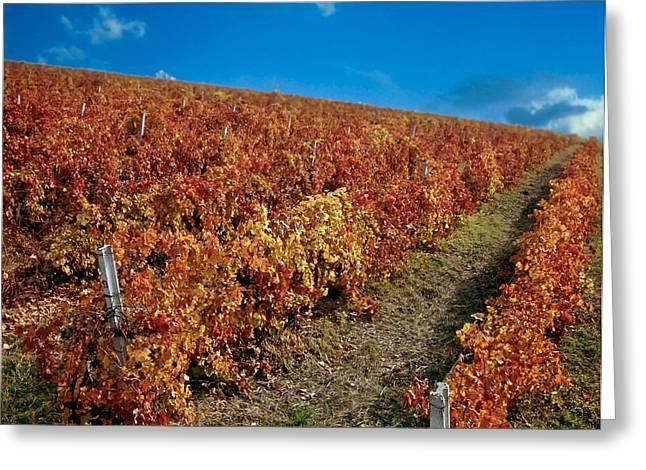 Cabernet Sauvignon Greeting Cards - Vineyard in Negotin. Serbia Greeting Card by Juan Carlos Ferro Duque