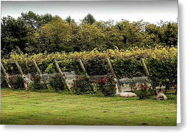 Vineyard Landscape Photographs Greeting Cards - Vineyard Greeting Card by Mountain Dreams
