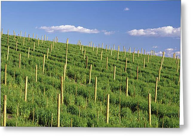 Vineyard, Napa County, California, Usa Greeting Card by Panoramic Images