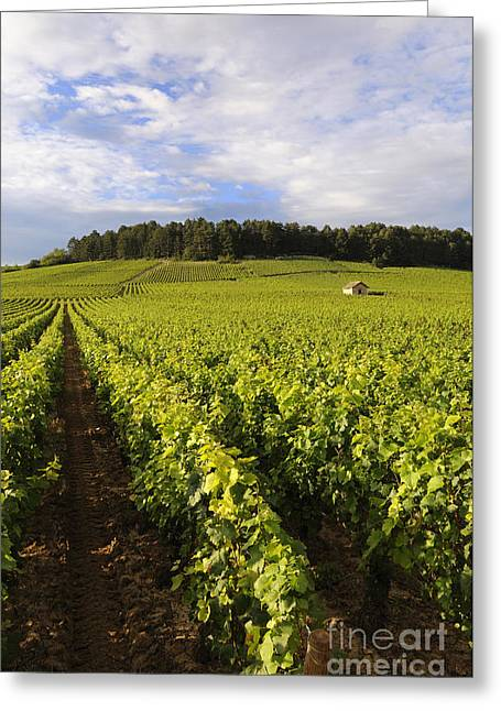 Grapevine Greeting Cards - Vineyard near Monthelie. Burgundy. France. Europe Greeting Card by Bernard Jaubert