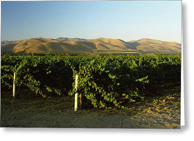 Vitis Greeting Cards - Vineyard On A Landscape, Santa Ynez Greeting Card by Panoramic Images