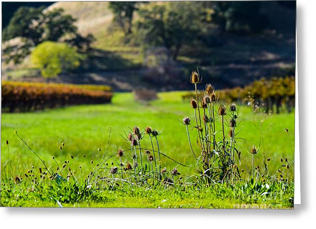 Northern California Vineyards Greeting Cards - Vineyard Thistles Greeting Card by CML Brown