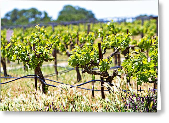 Viticulture Greeting Cards - Vineyard with young plants Greeting Card by Susan  Schmitz