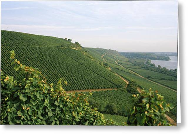 Grape Vineyard Greeting Cards - Vineyards Along A River, Niersteiner Greeting Card by Panoramic Images