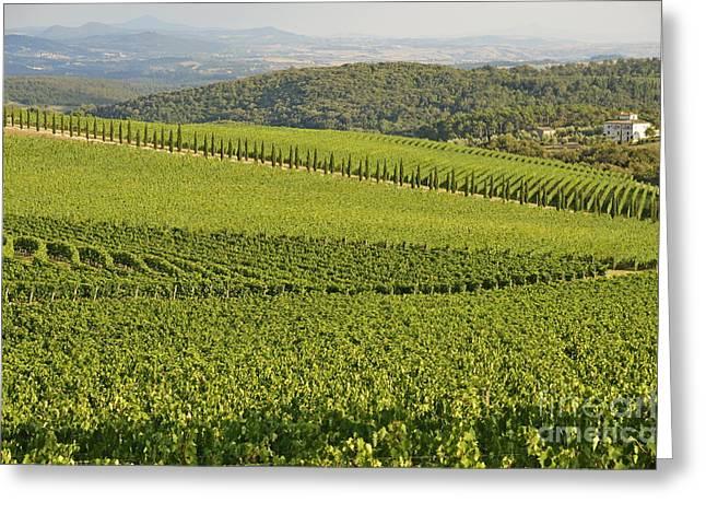 Vineyards And Cypresses In San Gusme Greeting Card by Sami Sarkis
