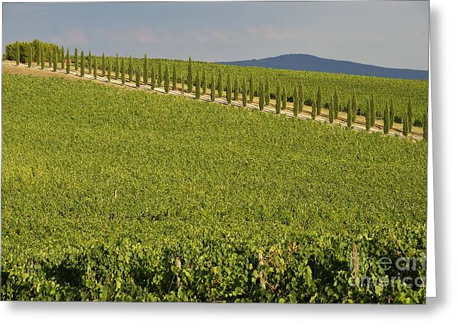 Chianti Hills Photographs Greeting Cards - Vineyards and cypresses tree alley in Chianti Greeting Card by Sami Sarkis