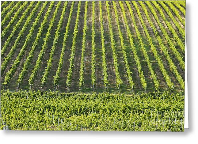 Chianti Greeting Cards - Vineyards in Chianti Region Greeting Card by Sami Sarkis