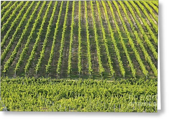 Chianti Vines Photographs Greeting Cards - Vineyards in Chianti Region Greeting Card by Sami Sarkis