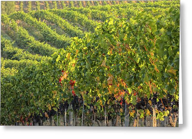 Vineyards In The Rolling Hills Greeting Card by Terry Eggers