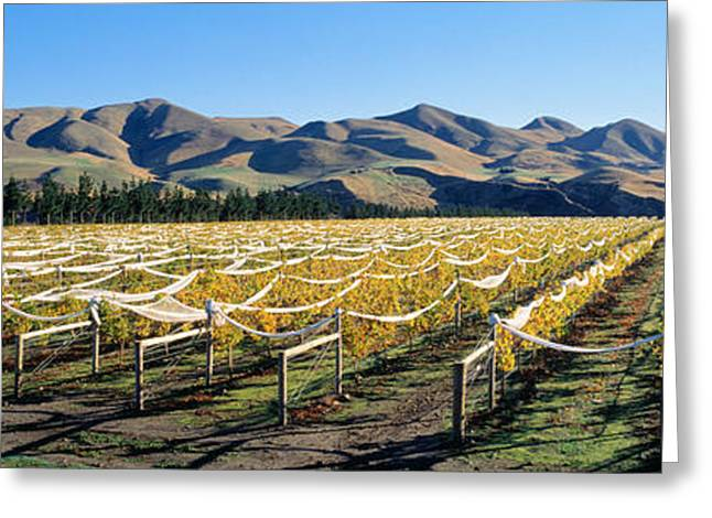 Grapevine Greeting Cards - Vineyards N Canterbury New Zealand Greeting Card by Panoramic Images