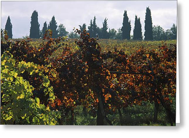 Vineyards With Trees In The Background Greeting Card by Panoramic Images