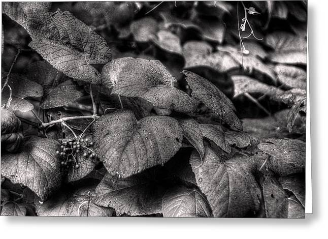 Grapevines Photographs Greeting Cards - Vinland Greeting Card by William Fields