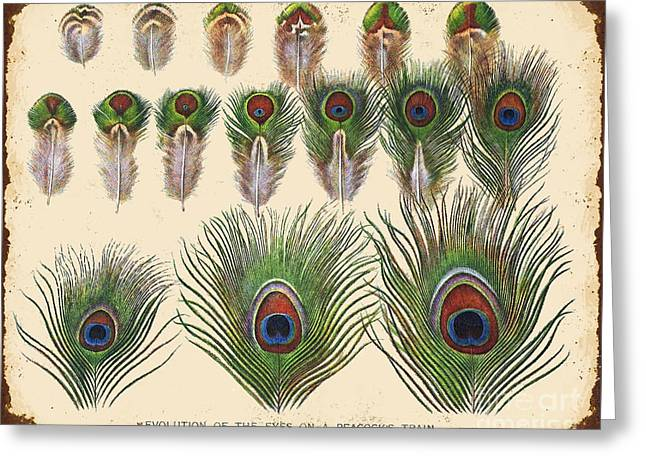 Nature Study Digital Greeting Cards - Vintage Feather Study-H Greeting Card by Jean Plout