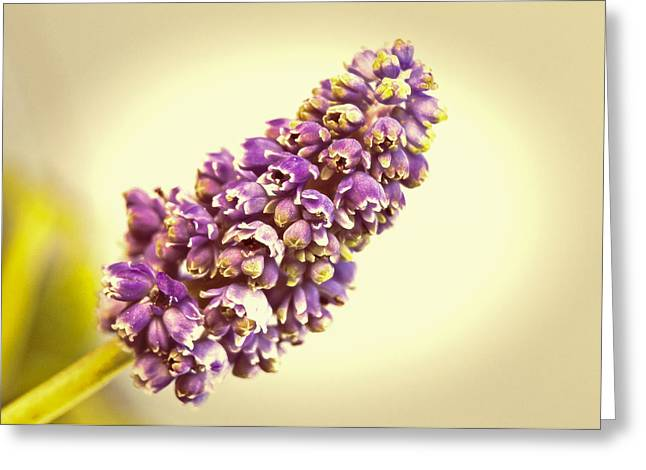 Purple Grapes Greeting Cards - Vintage Muscari Greeting Card by Caitlyn  Grasso