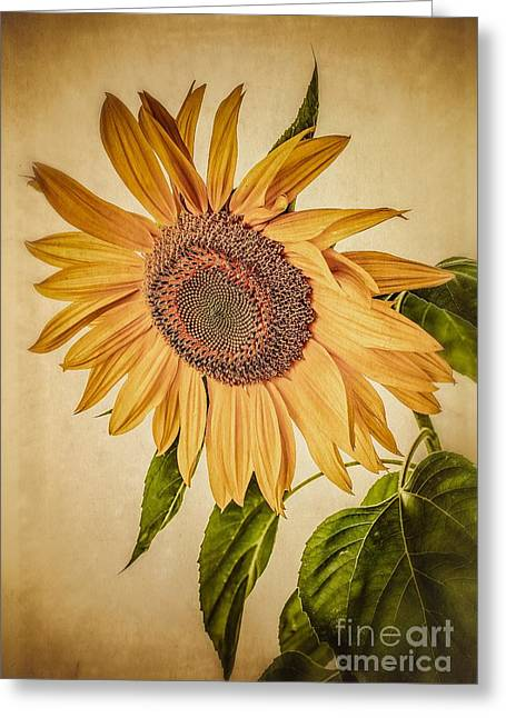 Pollen Greeting Cards - Vintage Sunflower Greeting Card by Edward Fielding