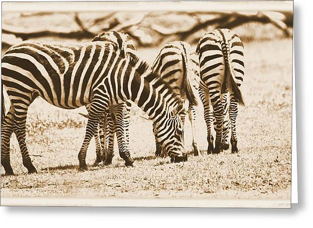 Zebra Eating Greeting Cards - Vintage Zebras Greeting Card by Dan Sproul