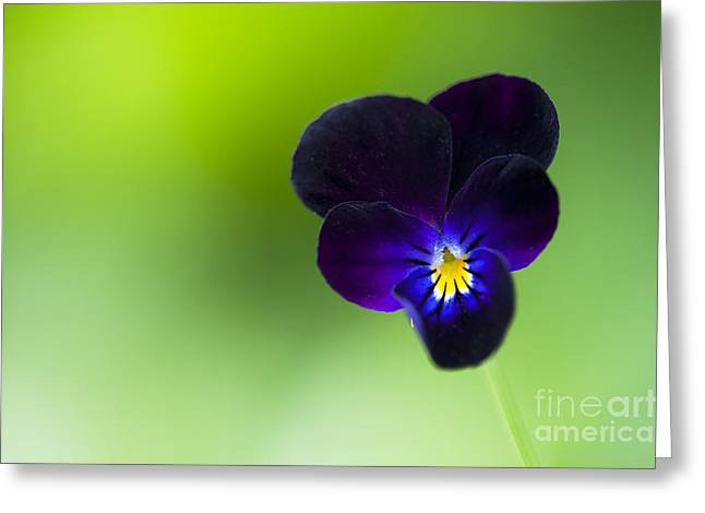Tim Greeting Cards - Viola cornuta Bowles Black Greeting Card by Tim Gainey