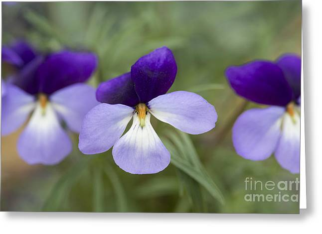 Lilac Greeting Cards - Viola Pedata Bicolour Greeting Card by Tim Gainey