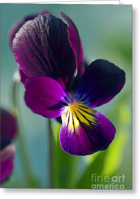 Johnny Jump Up Pansy Greeting Cards - Viola Greeting Card by Sharon  Talson