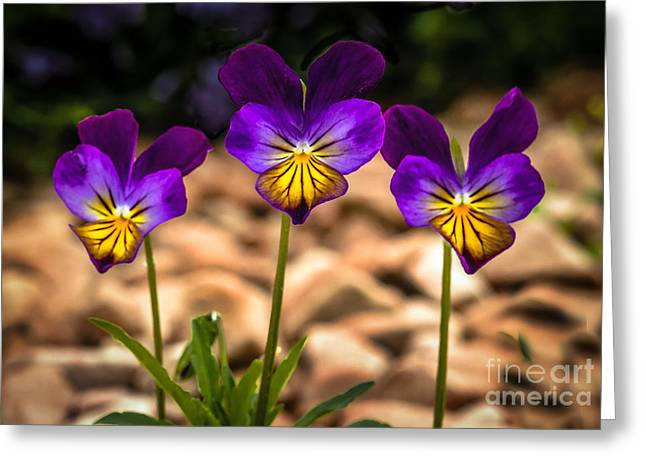 Viola Tricolor Greeting Cards - Viola Tricolor Greeting Card by Robert Bales