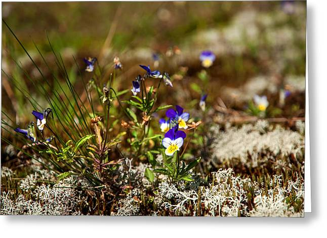 Russian Nature Greeting Cards - Viola. Wild Flowers of the Northern Russia Greeting Card by Jenny Rainbow