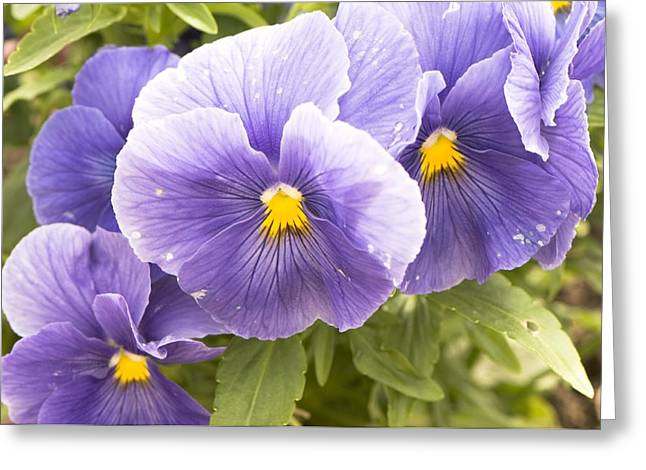 True Blue Greeting Cards - Viola x wittrockiana True Blue Greeting Card by Science Photo Library