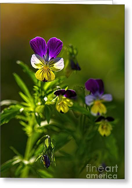 Johnny Jump Up Pansy Greeting Cards - Violas in the Morning 2 Greeting Card by Sharon  Talson