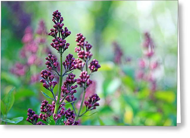 Oleaceae Greeting Cards - Violet Lilacs Budding Greeting Card by Karon Melillo DeVega