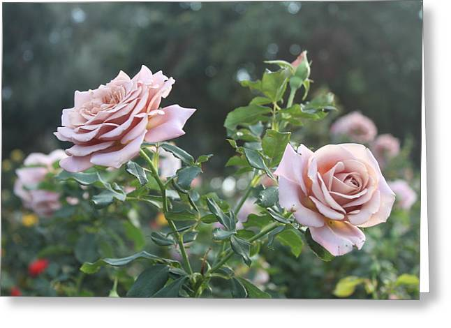 Violet Roses Greeting Card by Valerie Broesch