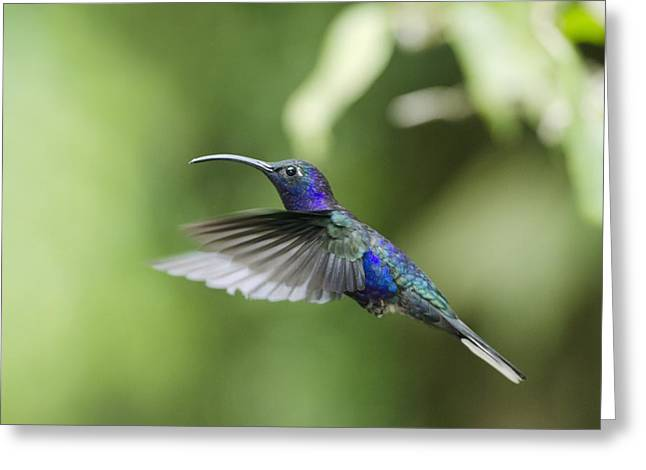 Neotropics Greeting Cards - Violet sabrewing hummingbird male Greeting Card by Science Photo Library