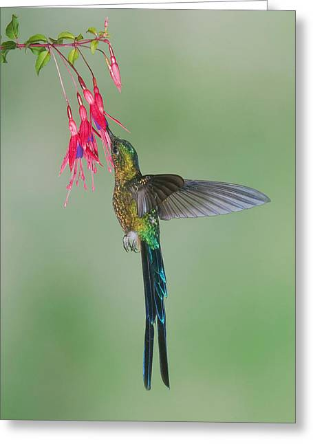 Coelestis Greeting Cards - Violet-tailed Sylph Hummingbird Feeding Greeting Card by Steve Gettle