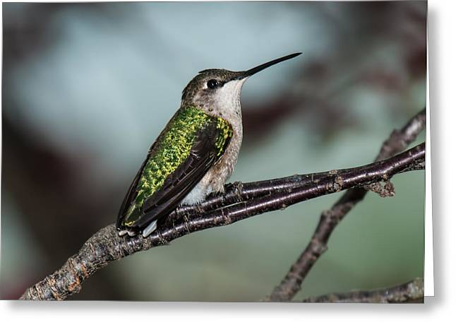 Archilochus Colubris Greeting Cards - Virginia Gem Greeting Card by Lara Ellis
