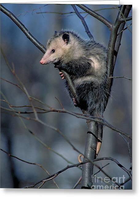 Possum Greeting Cards - Virginia Opossum Greeting Card by David N. Davis