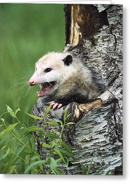 Us Open Photographs Greeting Cards - Virginia Opossum Hissing North America Greeting Card by Konrad Wothe